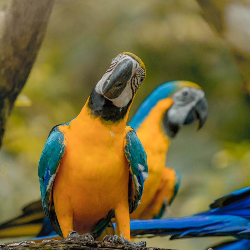 Two blue and gold macaw birds on the tree