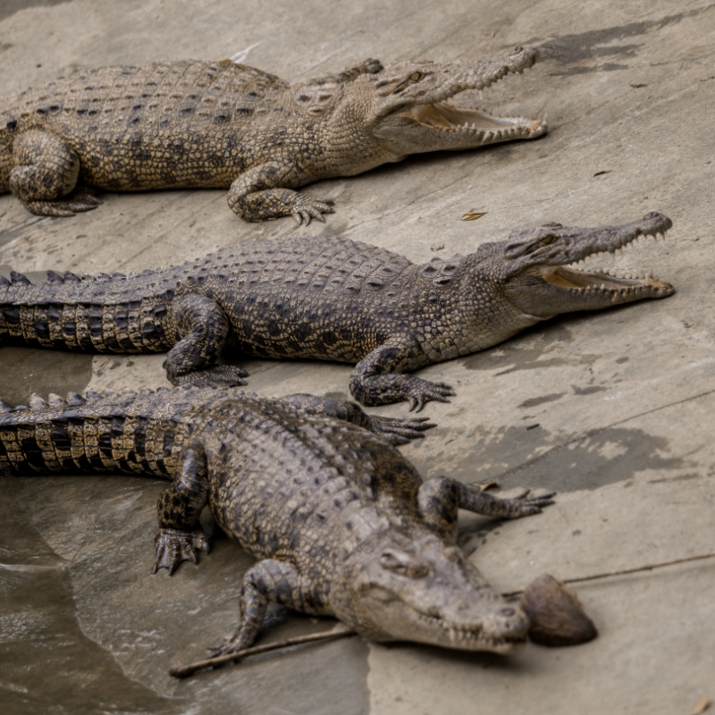 Three salt water crocodile on the closed cage with its mouth wide open