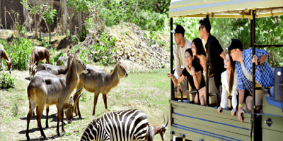 A zebra and other animals on the field watch by the tourist riding on the transport bus.