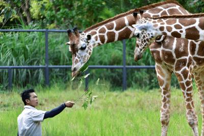 A zookeeper feeding the giraffes