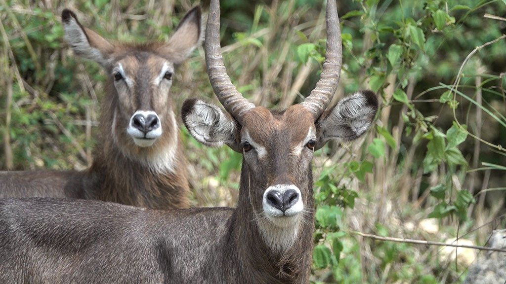 Two waterbuck is standing on the tall grass field