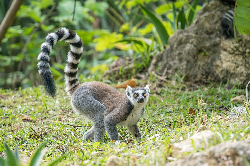A ring-tailed lemur with its brown and gray fur body color and stripes of white and black