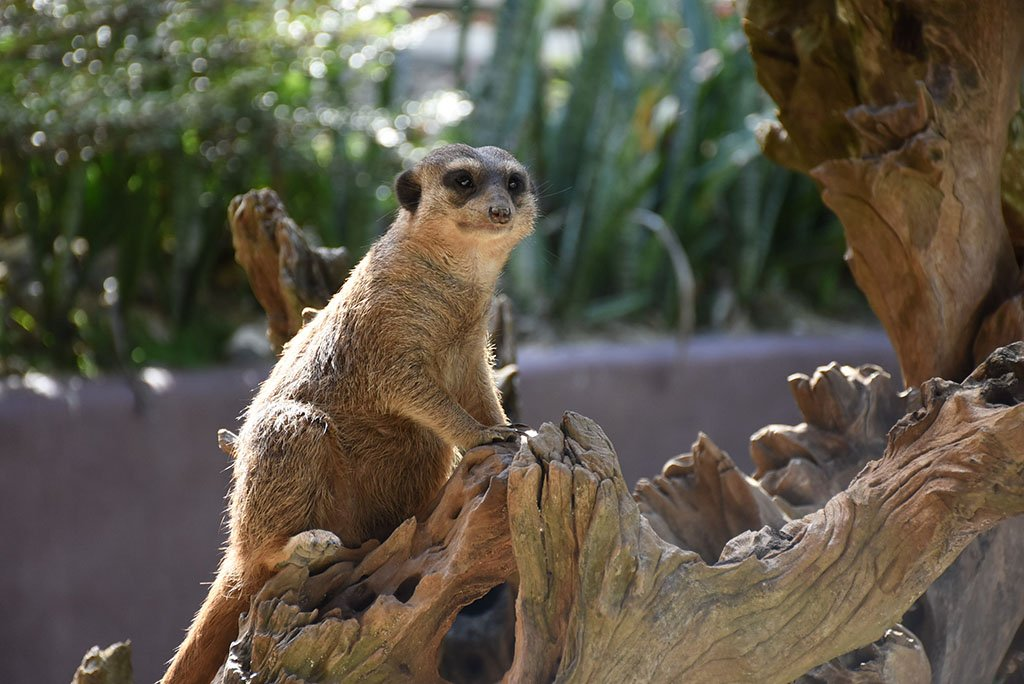 A brown meerkat is standing on timber